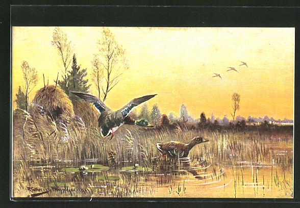 Künstler-AK M. Müller jun.: Flugenten beim Anflug auf einen See