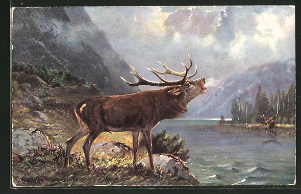 Künstler-AK M. Müller jun.: röhrender Hirsch am Wasser