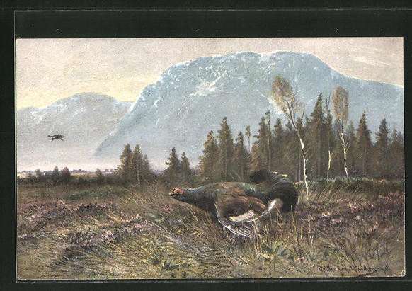 Künstler-AK M. Müller jun.: aufbäumender Auerhahn