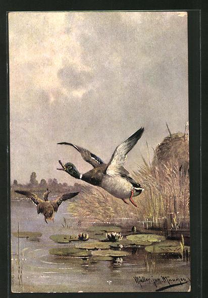 Künstler-AK M. Müller jun.: erschrockene Enten im Aufflug