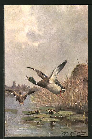 Künstler-AK M. Müller jun.: aufgeschreckte Enten im Abflug 0