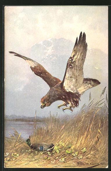 Künstler-AK M. Müller jun.: Raubvogel beim Anflug auf eine Ente 0