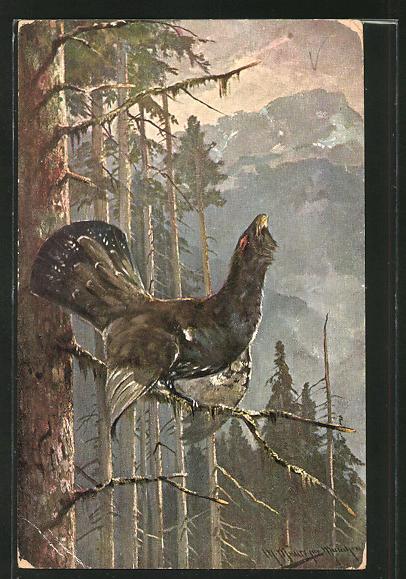 Künstler-AK M. Müller jun.: Auerhahn bei der Balz auf einem Baumast