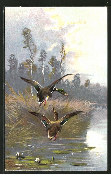 Künstler-AK M. Müller jun.: Enten beim Überflug eines Sees