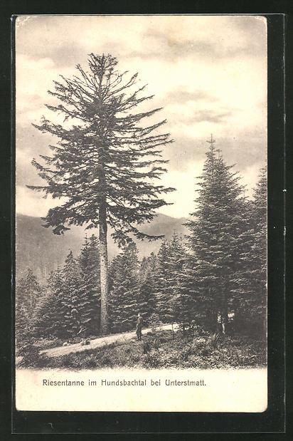 AK Unterstmatt im Hundsbachtal, Riesentanne 0