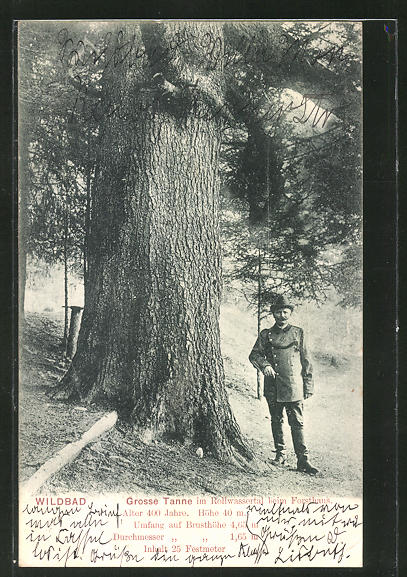 AK Wildbad, Grosse Tanne im Rollwassertal beim Forsthaus