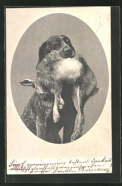AK dunkler Jagdhund apportiert ein totes Kanninchen