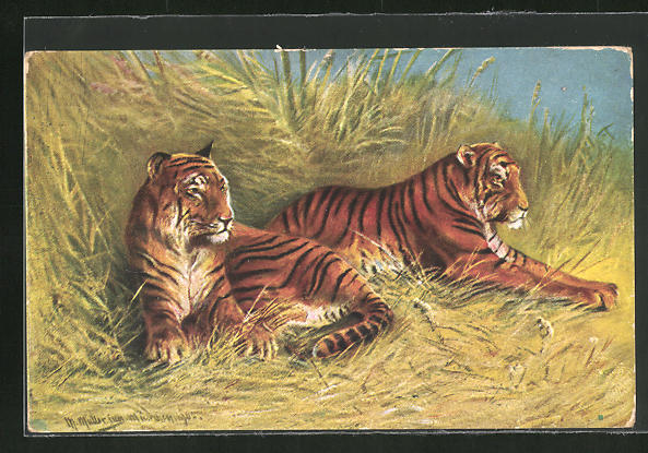 Künstler-AK M. Müller jun.: zwei Tiger im hohen Gras liegend