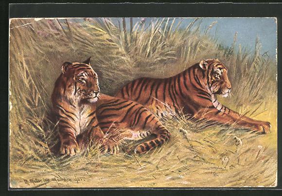 Künstler-AK M. Müller jun.: zwei stattliche Tiger im hohen Gras liegend