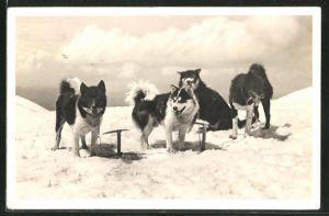 AK Polarhunde auf dem Jungfraujoch, Schlittenhunde