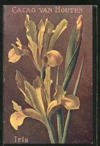 Sammelbild Cacao Van Houten, Iris, blühende Blume
