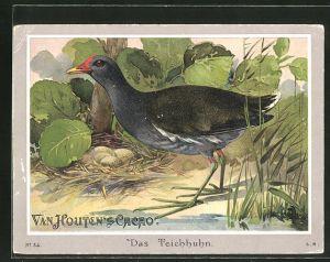 Sammelbild Van Houten's Cacao, Teichhuhn (Gallinula chloropus)
