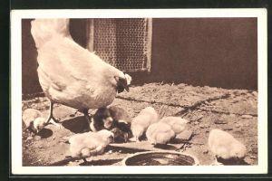 AK Wiener Tierschutz-Verein, Huhn mit Küken