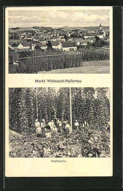 AK Markt Wolnzach-Hallertau, bei der Hopfenernte, Ortsansicht