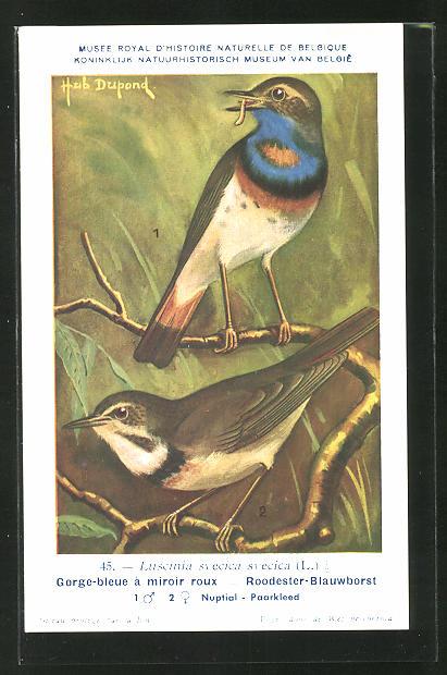 Künstler-AK Hubert Dupond: Blaukehlchen sitzt auf einem Zweig