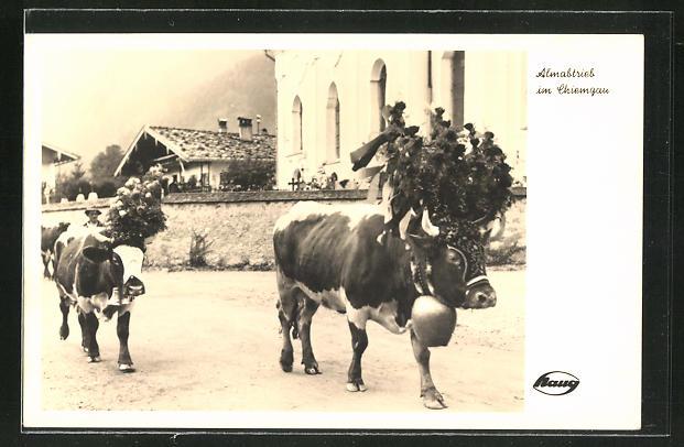 AK Almabtrieb im Chiemgau, Kühe mit grossen Glocken um den Hals