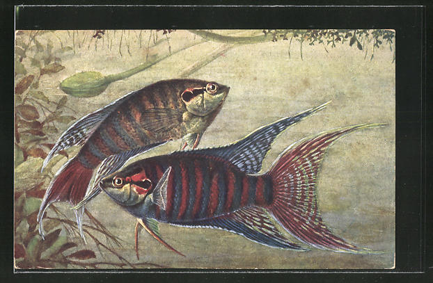 AK Macropodus viridi-auratus Lacep, Fisch im Meer