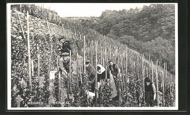 AK Meissen, Arbeiter bei der Weinlese