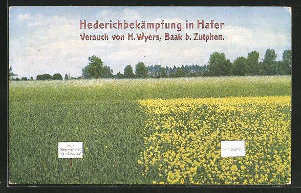 AK Reklame Kainit, Hederichbekämpfung in Hafer