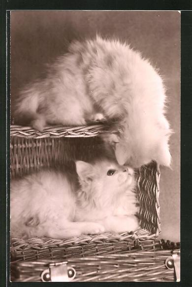 AK Weisse Kätzchen verstecken sich in einem Korb 0