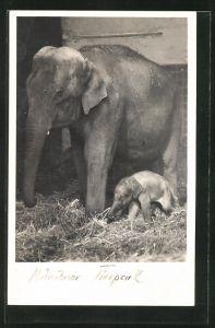 AK München, Tierpark Hellabrunn, Junger indischer Elefant Wastl mit Mutter