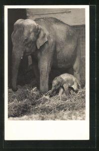 AK München, Tierpark Hellabrunn, Junger indischer Elefant Wastl mit Mutter Cora
