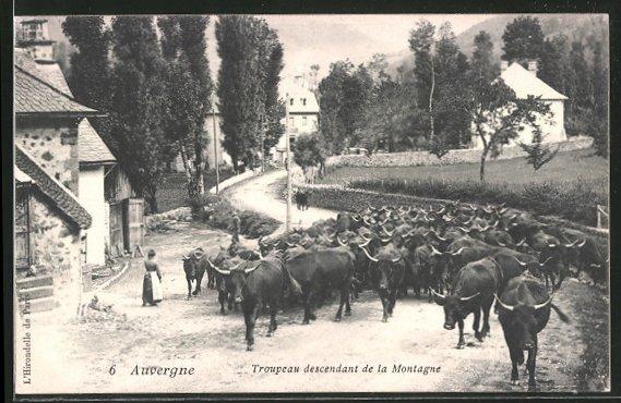 AK Rinder werden durch einen Ort in der Auvergne getrieben