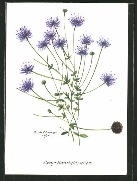 AK Blume, Das Berg-Sandglöckchen - Jasione montana
