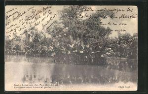 AK Maurice, Jardin botanique des Pamplemousses