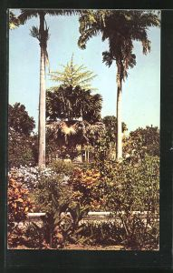 AK St. Kitts, in Pall Mall Square, a Tallipot Palm in bloom in the middle distance