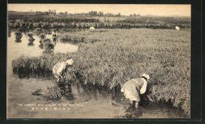 AK The Farmer's Wife working in the Rice Field, Reisernte
