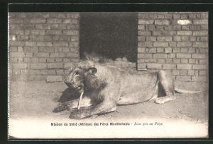 AK Malawi, Mission du Shire des Peres Montfortains, Lion pris au Piege