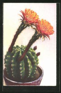 Künstler-AK Photochromie Nr. 4039: Blühender Kaktus