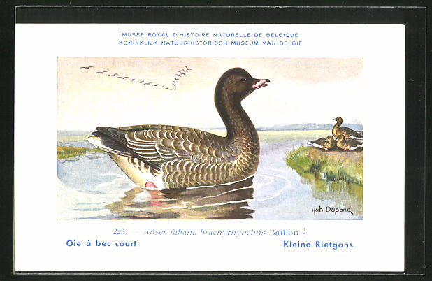 Künstler-AK Hubert Dupond: Anser fabalis brachyrhynchus Baillon, Gans