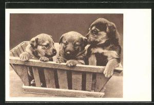 AK Wien, Tierschutzverein Wien und Umgebung, Hundewelpen in einer Kiste