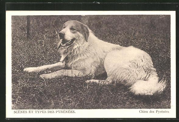 AK Pyrenäenberghund / Chien des Pyrénées