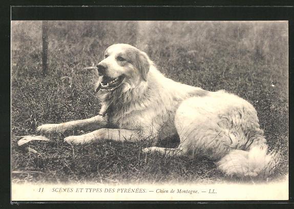AK Chien de Montagne, Pyrenäenberghund