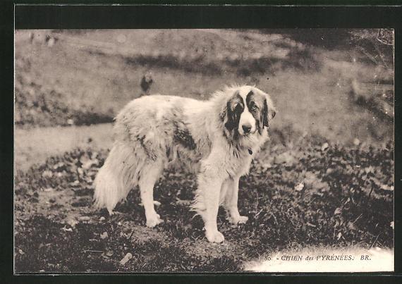 AK Chien des Pyrénées, Pyrenäenberghund