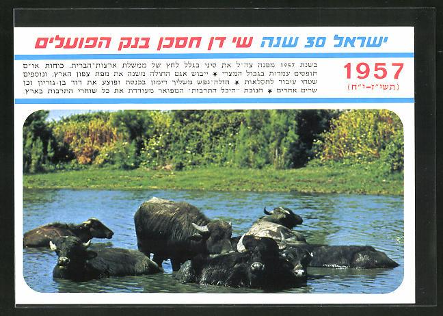 AK Wasserbüffel in Israel 1957