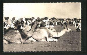 AK Niamey, Le Champ de Foire, Kamele