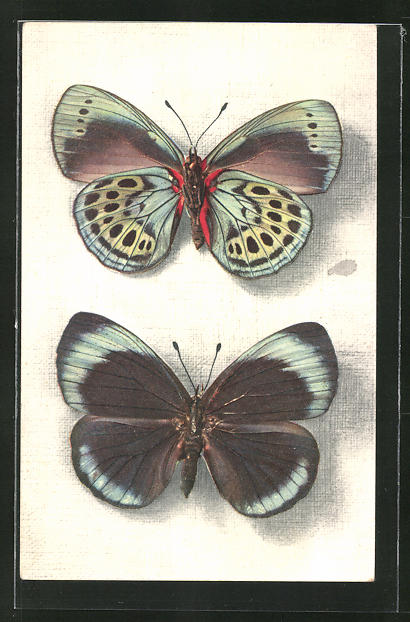 AK Schmetterlinge Callithea Leprieuri (Perou), Vu sur ses deux faces