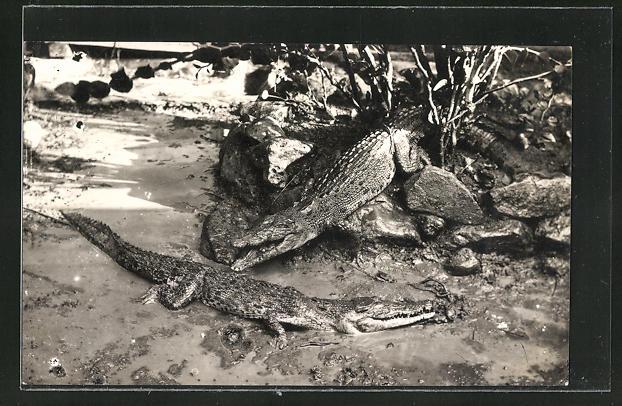 AK Zwei Krokodile am Ufer