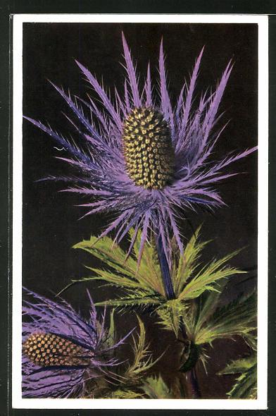 Foto-AK Emanuel Gyger: Eryngium alpinum, Alpen.Manns-Streu, Blaudistel
