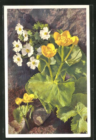 Foto-AK Emanuel Gyger: Ranunculus alpestris, Alpenhahnenfuss