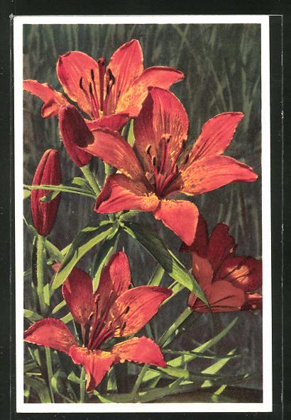 Foto-AK Emanuel Gyger: Lilium bulbiferum, Feurlilie
