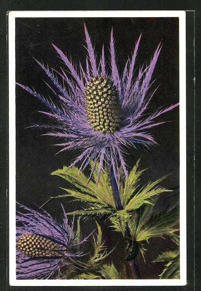 Foto-AK Emanuel Gyger: Eryngium alpinum, Alpen Manns-Streu, Blaudistel 0