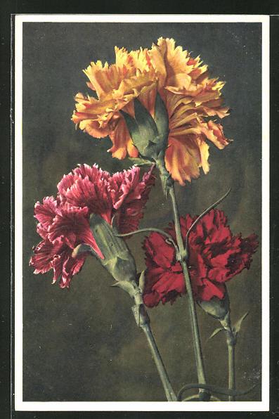 Foto-AK Emanuel Gyger: Dianthus caryophyllus L., Garten-Nelke 0