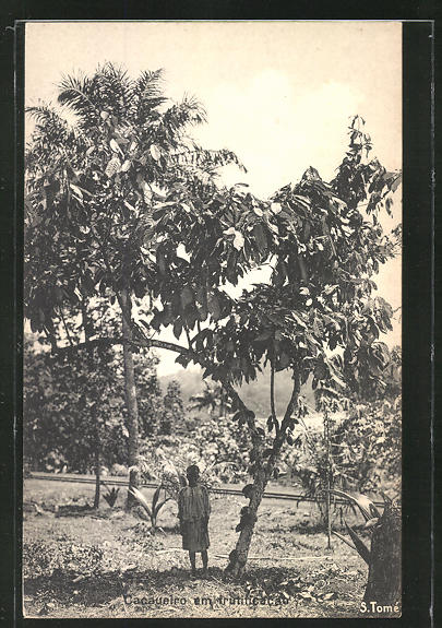 AK Cacaueiro em trutificacao, Kakao-Plantage 0