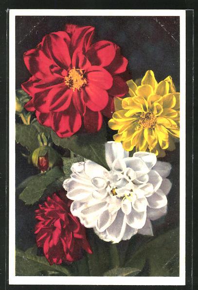Foto-AK Emanuel Gyger: Dahlia variabilis, Dahlie