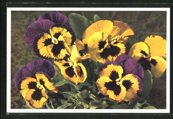 Foto-AK Emanuel Gyger: Viola tricolor, Stiefmütterchen